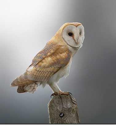 Clubs In Little Rock >> British Barn Owl - Adopt An Owl