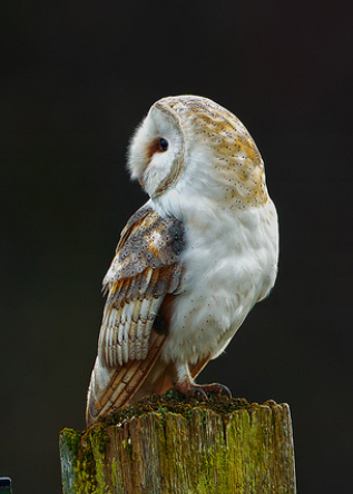 Clubs In Little Rock >> British Barn Owl - Owl Rescue