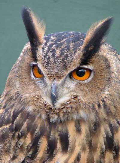 Charlotte Law School >> Talisker - Adopt An Owl