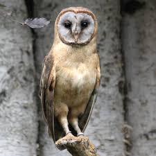 Ashy-Faced Barn Owl