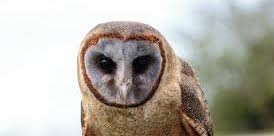 Ashy-Faced Barn Owl